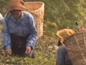 Teeanbau
